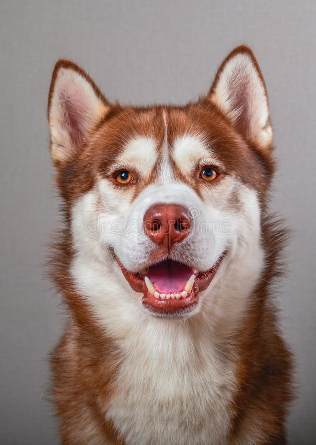 Stäng sig upp härlig skrovlig hund för stående på grå bakgrund för snitt ut royaltyfri bild