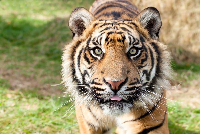 Stäng sig upp huvudet som skjutas av den Sumatran tigern arkivfoton