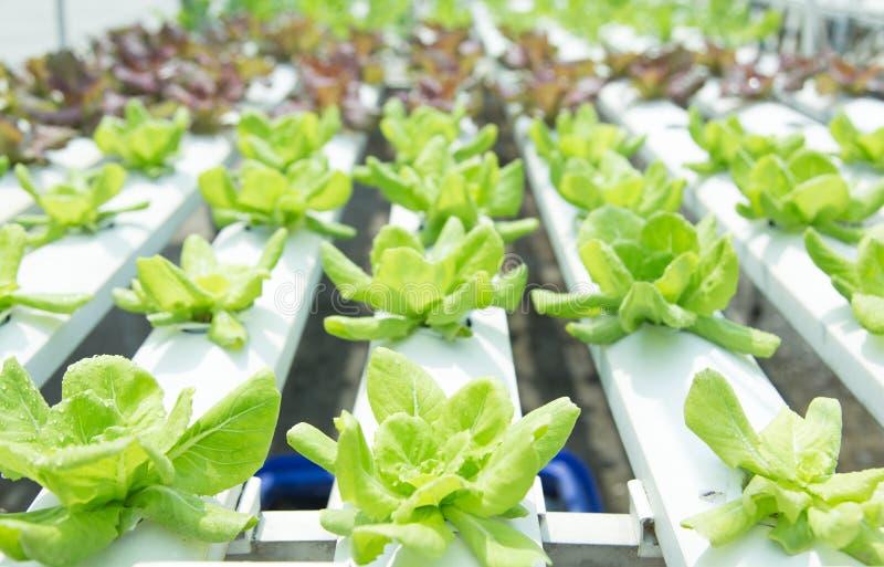 Stäng sig upp i grönsakträdgård under begrepp för bakgrund för mat för morgontid med kopieringsutrymme royaltyfria bilder