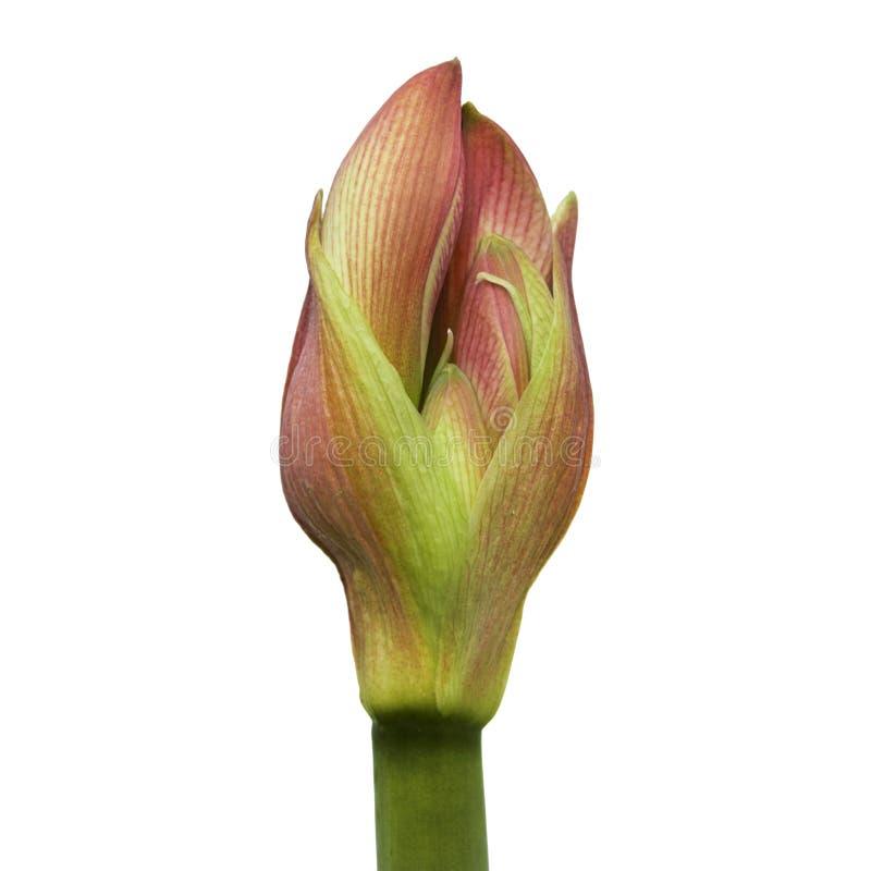 Stäng sig upp - knoppen av Hippeastrum eller Amaryllis blommor, rosa amaryllisblommor som isoleras på vit bakgrund, med urklippba arkivbilder