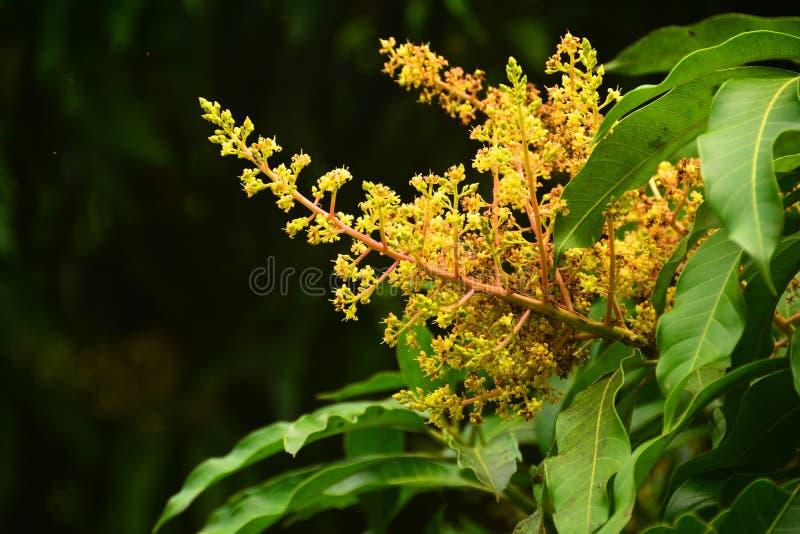 Stäng sig upp mangoblommorna royaltyfria foton