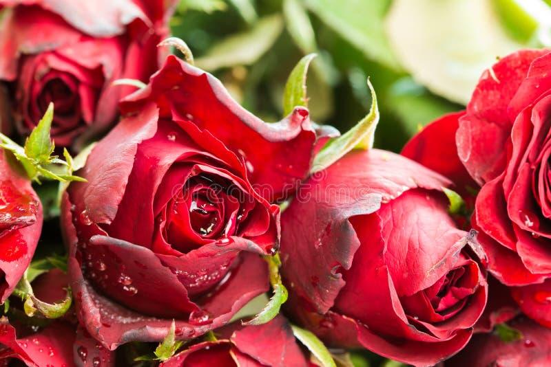 Stäng sig upp naturlig röda rosor och vattendroppbakgrund genom att använda som valentindagbakgrund, arkivbild