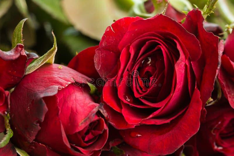 Stäng sig upp naturliga röda rosor och vattendroppar genom att använda som valentindagbakgrund, royaltyfri foto