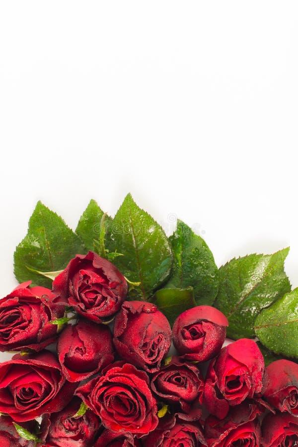 Stäng sig upp naturliga röda rosor och vattendroppar Hälsningkort med röda rosor och utrymme för text genom att använda som valen arkivbild