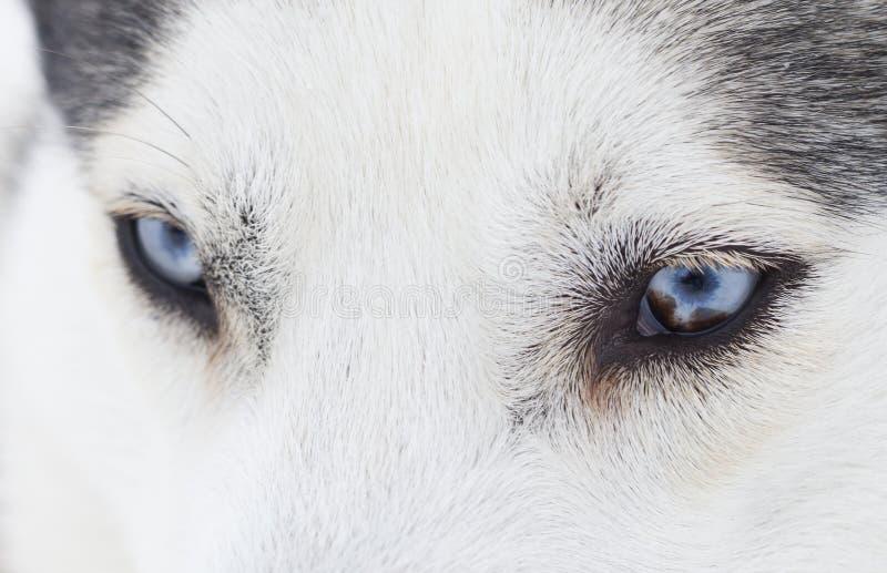 Stäng sig upp på blåa ögon av ett skrovligt fotografering för bildbyråer