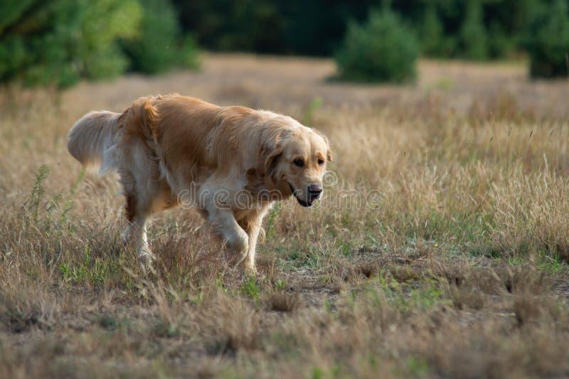 Stäng sig upp på den guld- Retriver labradoren i gräset royaltyfri bild