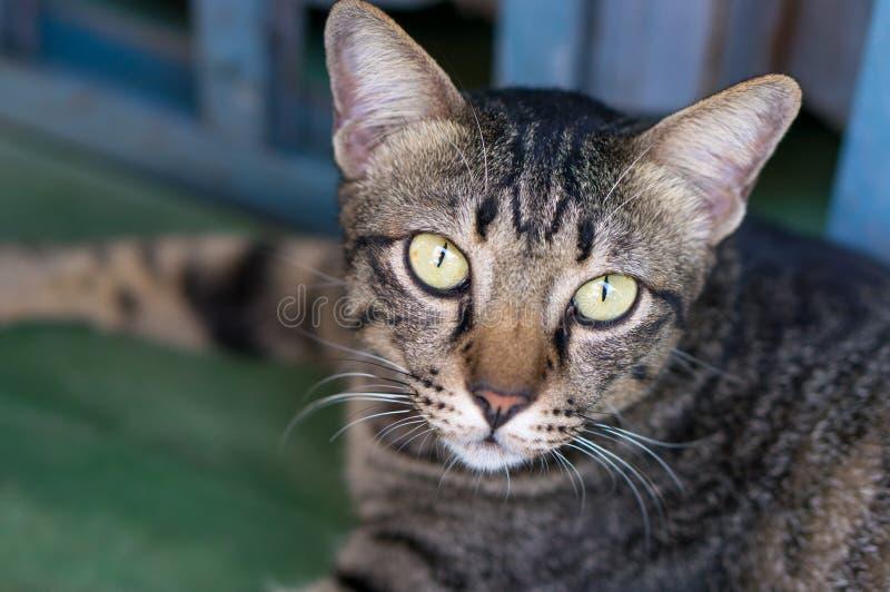 Stäng sig upp på framsida av den thailändska katten med ljust - gula ögon royaltyfri foto