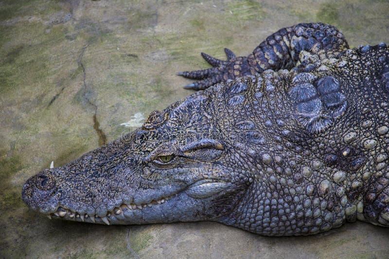 Stäng sig upp på krokodilhuvudet med stora tänder royaltyfria foton