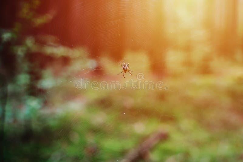 Stäng sig upp på marmorerad orb-vävare Araneusdiadematus i skogen, royaltyfri fotografi