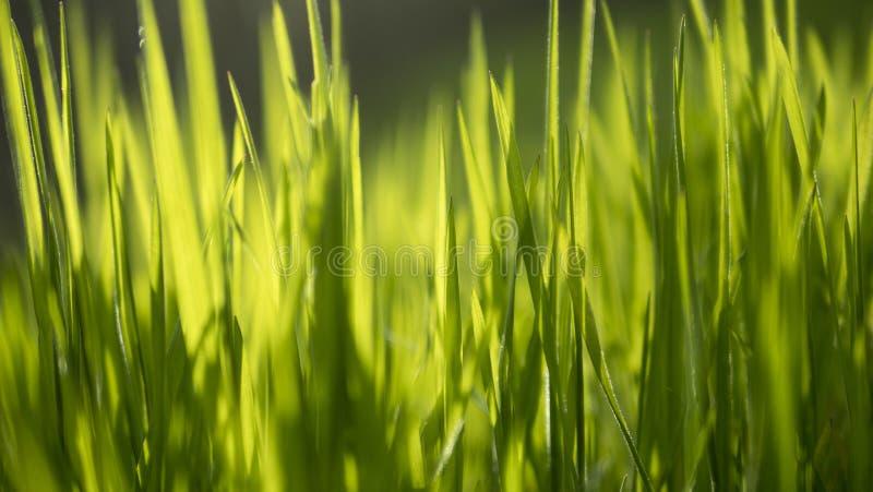 Stäng sig upp på oskarpt gräs med solljus som igenom når arkivfoto