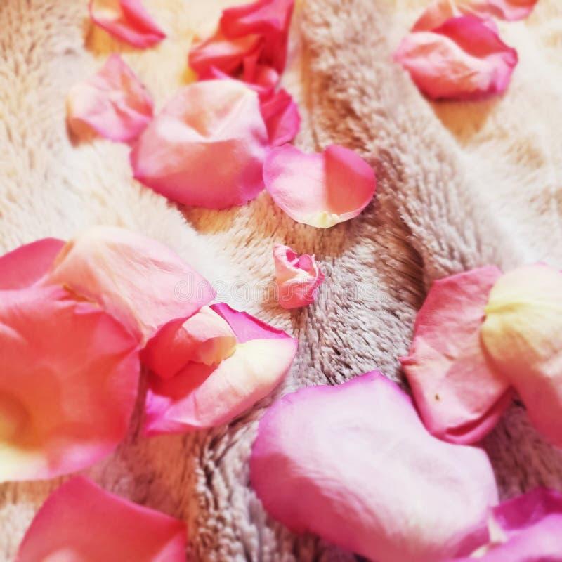 Stäng sig upp på rosa rosa blommapedaler som ligger på jordningen royaltyfria foton