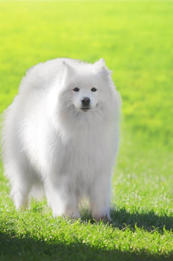 Stäng sig upp på Samoyedhund på grönt gräs arkivbild