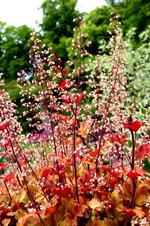 Stäng sig upp på Saxifragaceae Heuchera marmalade arkivfoton