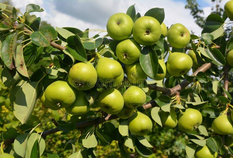 Stäng sig upp på skörd för många söt päron för grön färg på päronträdfilialen royaltyfri fotografi