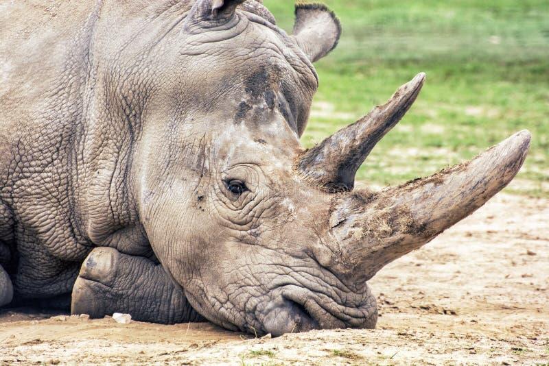 Stäng sig upp profilståenden av den vita noshörningen - Ceratotheriu royaltyfri foto