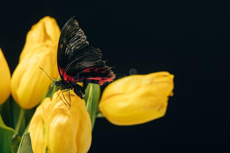 stäng sig upp sikt av den härliga fjärilen med gula tulpan som isoleras på svart arkivfoto