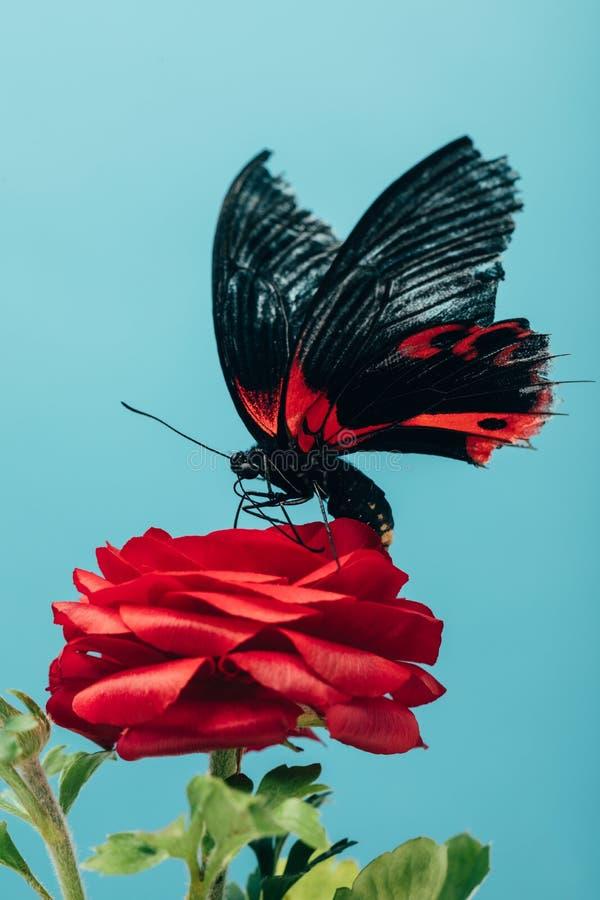 stäng sig upp sikt av den härliga fjärilen på röd ros royaltyfria bilder