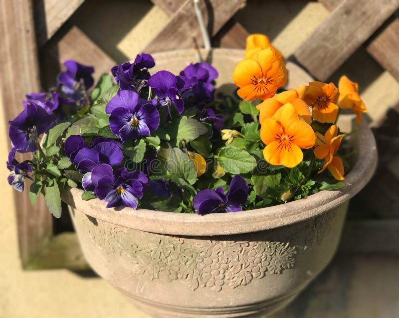 Stäng sig upp sikt av den orange och violetta penséen i blomkruka arkivbilder