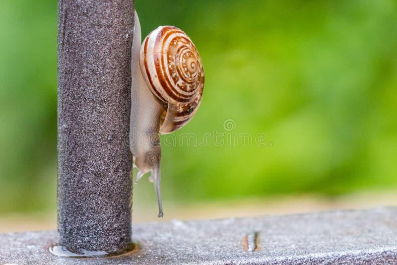 Stäng sig upp sikten av en gullig trädgårds- snigel som kommer långsamt ut ur dess skal Älskvärt brunt, fibonacci, spiral, spiral arkivbild