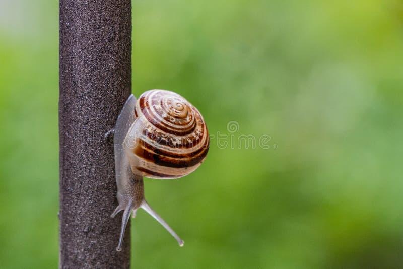 Stäng sig upp sikten av en gullig trädgårds- snigel som kommer långsamt ut ur dess skal Älskvärt brunt, fibonacci, spiral, spiral royaltyfri foto
