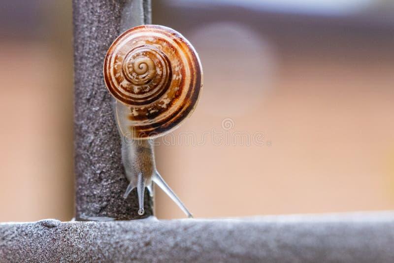 Stäng sig upp sikten av en gullig trädgårds- snigel som kommer långsamt ut ur dess skal Älskvärt brunt, fibonacci, spiral, spiral fotografering för bildbyråer