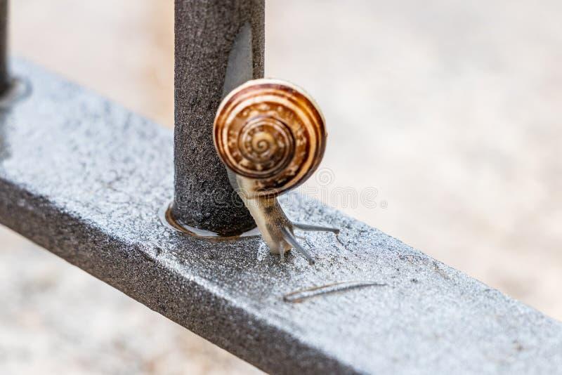 Stäng sig upp sikten av en gullig trädgårds- snigel som kommer långsamt ut ur dess skal Älskvärt brunt, fibonacci, spiral, spiral royaltyfri bild
