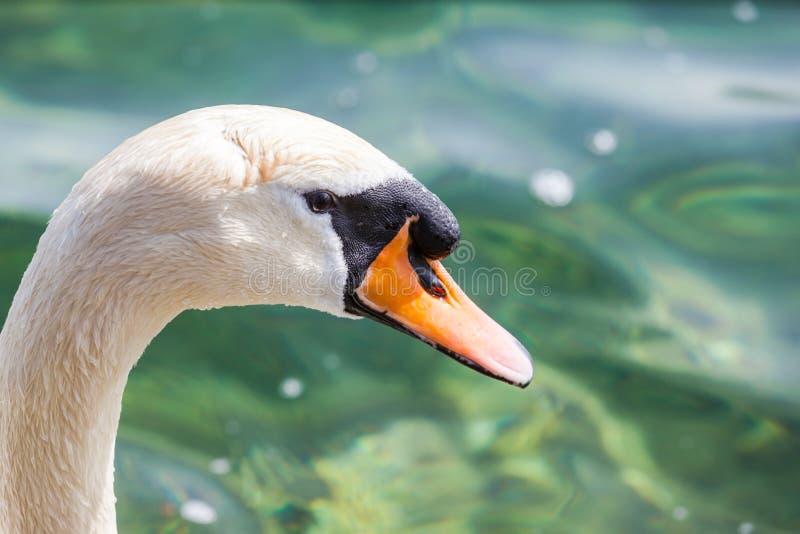 Stäng sig upp sikten av huvudet av svanen arkivbild