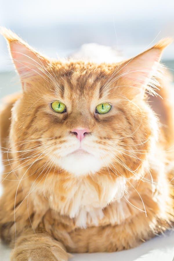 Stäng sig upp sikten ursnygga Maine Coon Cat med stora gröna ögon royaltyfria foton