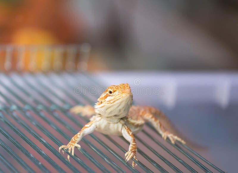 Stäng sig upp skäggig ödla för den drakePogona Vitticeps australiern arkivbild