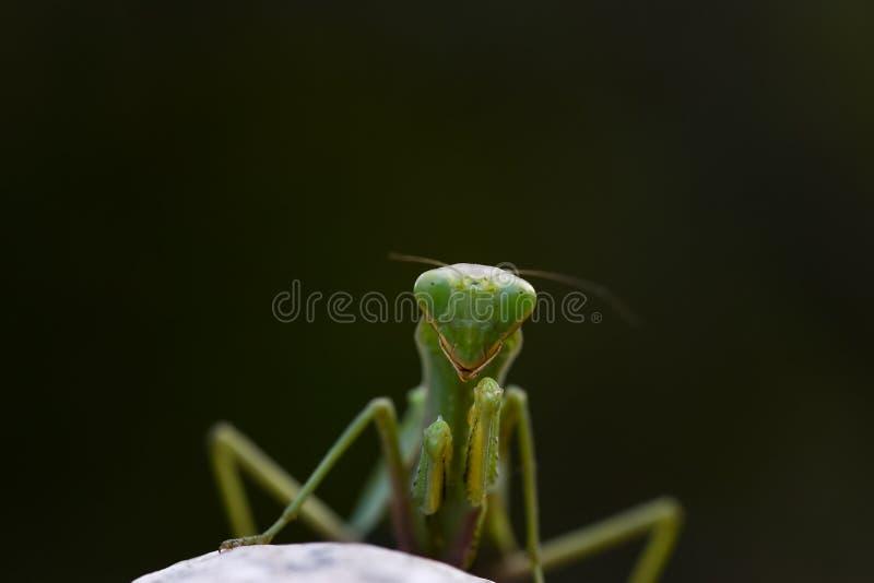 Stäng sig upp skott av den gröna bönsyrsan på naturbakgrund royaltyfri fotografi