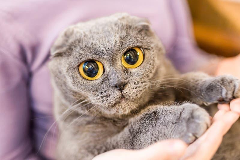 Stäng sig upp ståenden av den gråa fluffiga katten med enorma ögon på ägarehanden Fett tillfredsställd katt med stora gula ögon H royaltyfri bild