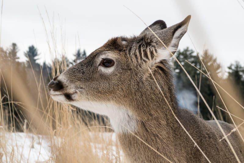 stäng sig upp ståenden av en vit tailed hjort i högväxta gräs royaltyfri fotografi
