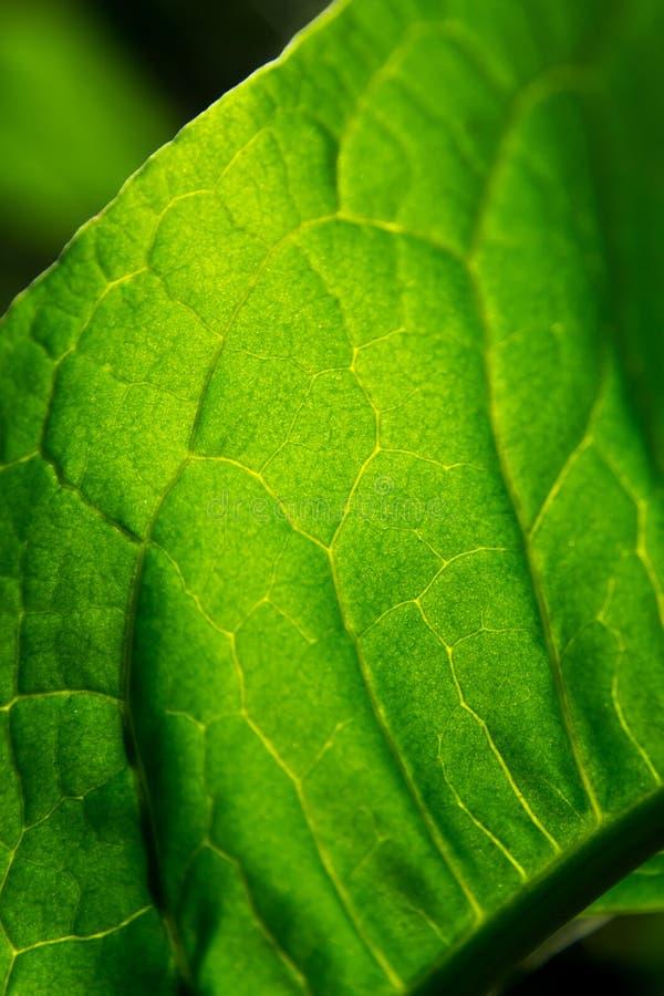 Stäng sig upp textur av gröna tjänstledigheter arkivfoto