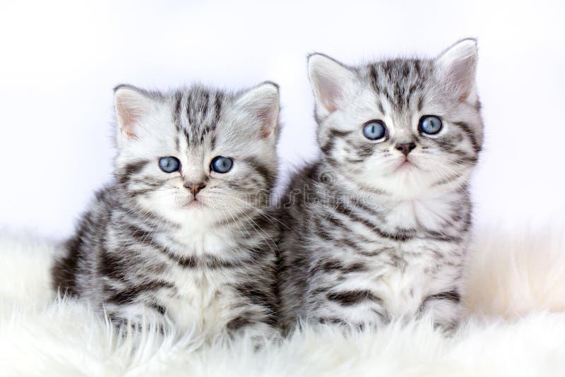 Stäng sig upp två silverstrimmig kattkattungar på päls arkivfoton