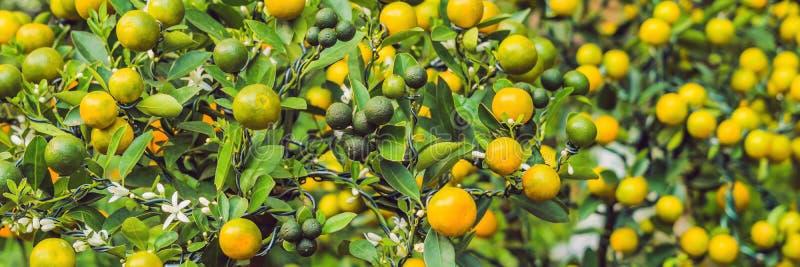 Stäng sig upp vibrerande orange citrusfrukter på ett Kumquatträd i heder av det vietnamesiska nya året Mån- blommamarknad för nyt arkivbild