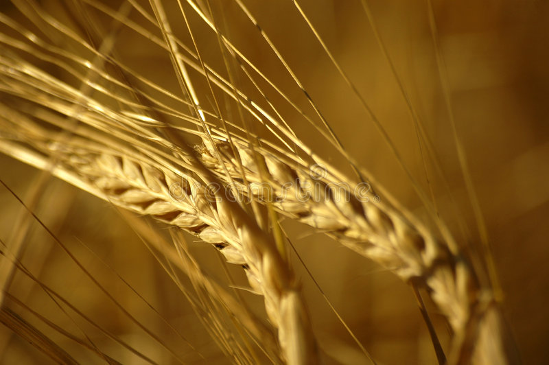 stäng sig upp wheatfield arkivbild