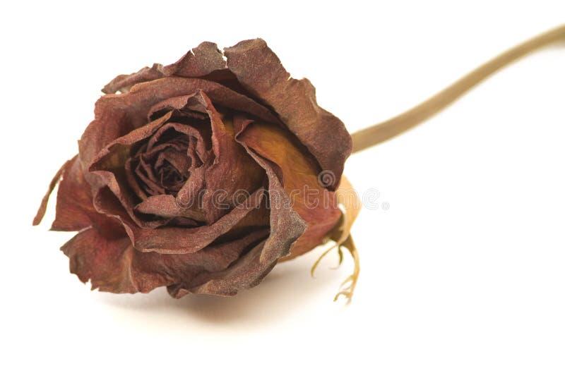 stäng torkat rose övre royaltyfri foto