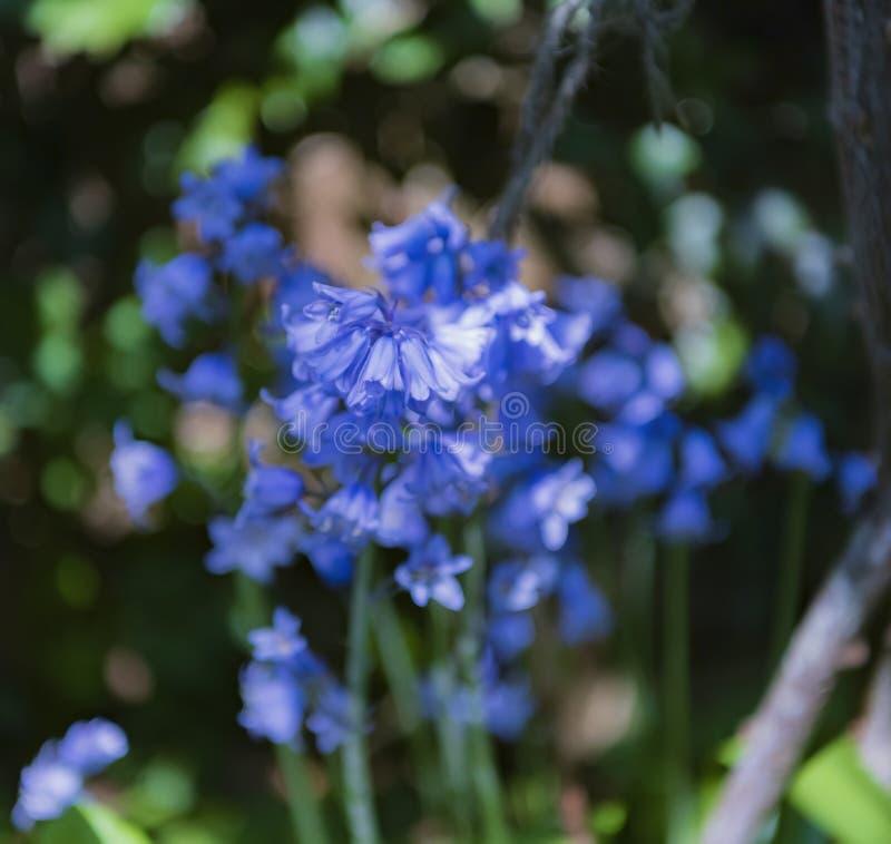 Stäng upp av engelska blåklockor med en suddig bakgrund arkivfoton