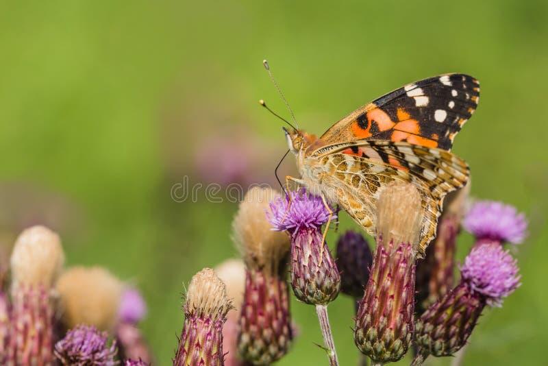 Stäng upp bilden av färglöst målad dammfjäril royaltyfri fotografi