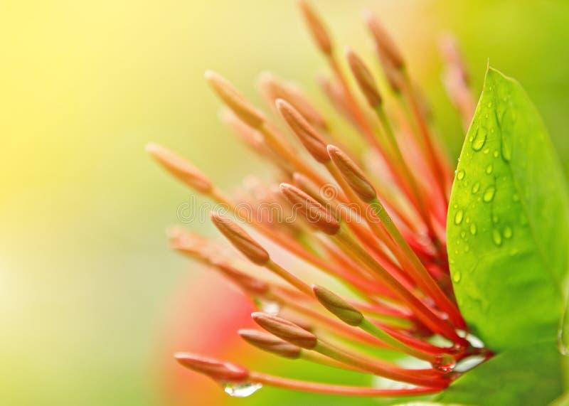 stäng upp den röda stamenen för blomman royaltyfria bilder