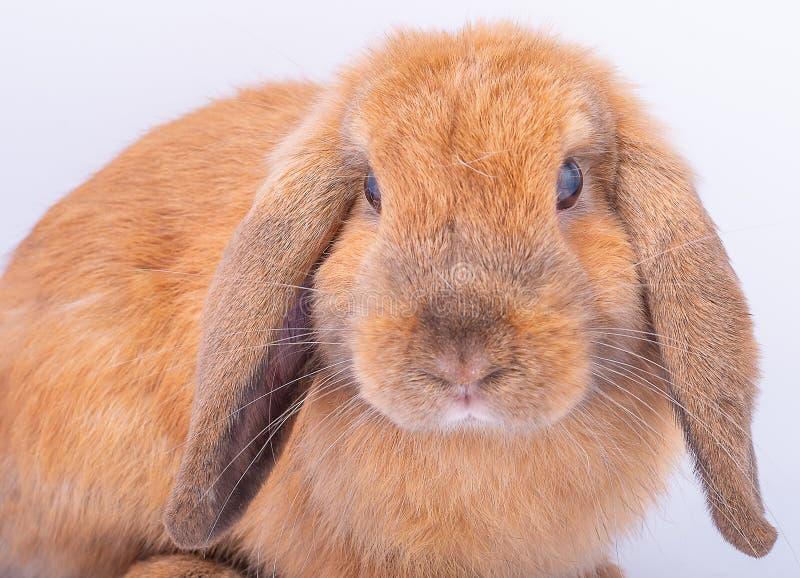 Stäng upp till framsidan av liten brun kaninkanin med långa öron på vit bakgrund royaltyfria bilder