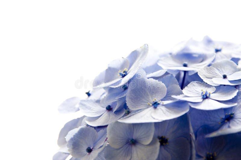 stäng upp vanlig hortensia arkivbilder