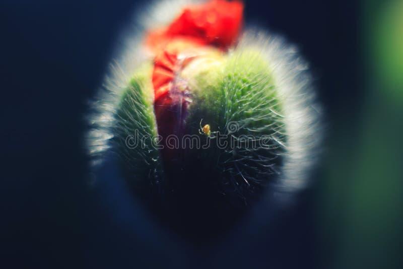 Stäng vallmodisken oblåst vallmopock spindel på vallmoblomma royaltyfri foto