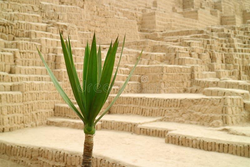 Stängd upp gräsplanväxt med den oskarpa Huaca Pucllana forntida strukturen i bakgrund, Miraflores, Lima, Peru royaltyfria foton