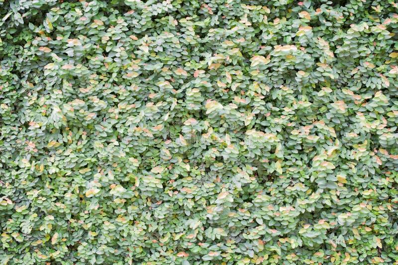 Stängd-upp green låter vara väggbakgrund royaltyfri fotografi