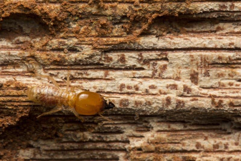 Stängda termiter äter trä från huset royaltyfria foton