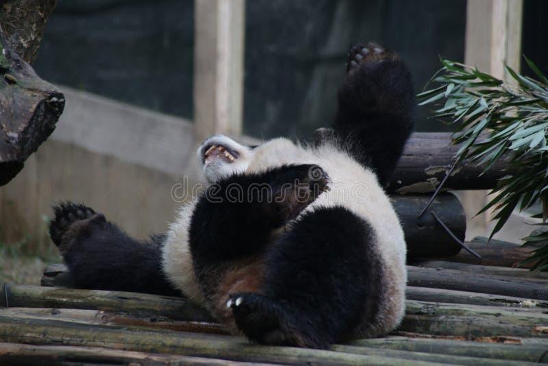 Stängda-upp fluffiga Panda Bear i Chengdu, Kina arkivfoto