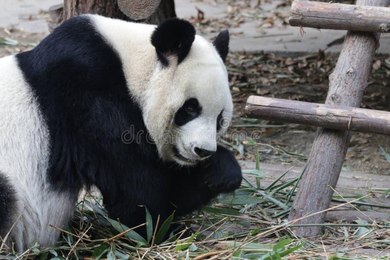 Stängda-upp fluffiga Panda Bear i Chengdu, Kina royaltyfri bild