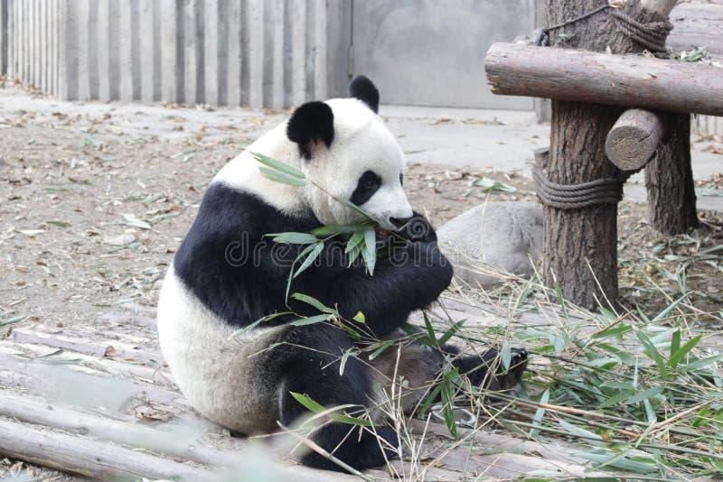 Stängda-upp fluffiga Panda Bear i Chengdu, Kina royaltyfria foton