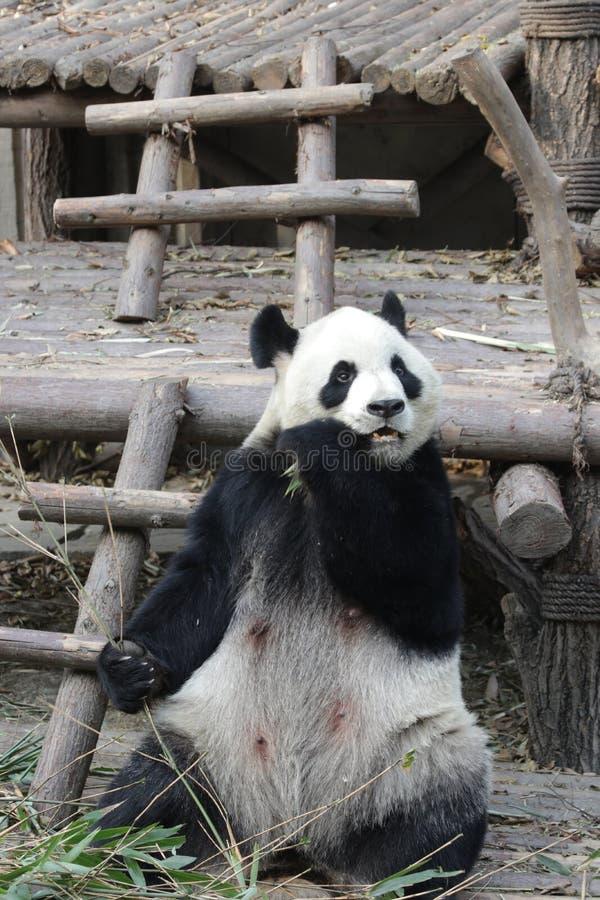 Stängda-upp fluffiga Panda Bear i Chengdu, Kina fotografering för bildbyråer